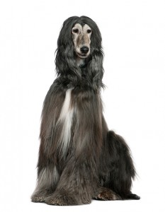 Afghan hound, 7 years old, sitting in front of white background
