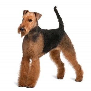 Airedale Terrier (2 years old)