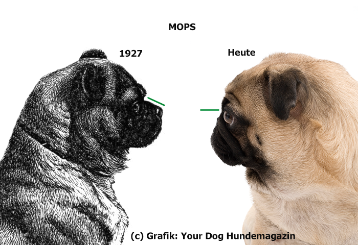 http://www.yourdogmagazin.at/wp-content/uploads/2015/07/mopsvergleich.png