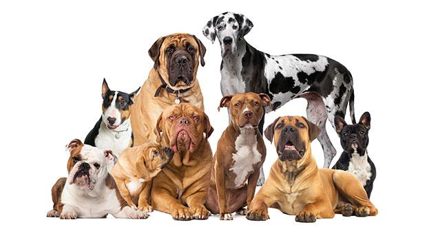hunde der welt terrier mischlinge bullenbei er und saupacker your dog hundemagazin. Black Bedroom Furniture Sets. Home Design Ideas
